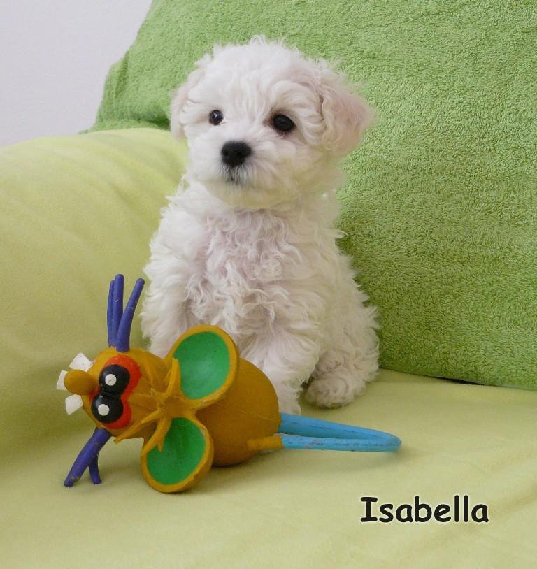 1eb4a985c13 Boloňský psík - Cherry a Peggi + štěňátka